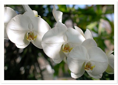 NYBG : Phalaenopsis