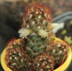 Mammilaria elongata (fab_rice2) Tags: cactus succulent collection seedlings grafting cactii mammilaria astrophytum titanopsis lophophora melocactus stenocactus echinofossulocactus trichocereusperuvianus zacatasensis pereskipsis