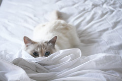 peek-a-boo (wolvessss) Tags: blue white animal cat bed eyes kitten sheets amelie sheet hiding sneaky sneak
