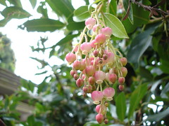 strawberry tree blossom (creative concoctions) Tags: blossoms strawberrytree
