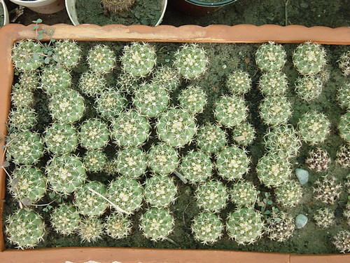 Melocactus seedling