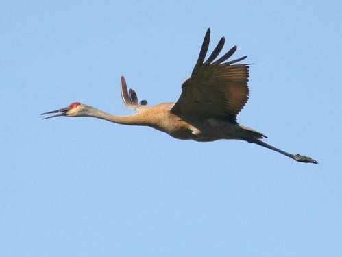 Sandhill Crane SOOC cropped 20100415