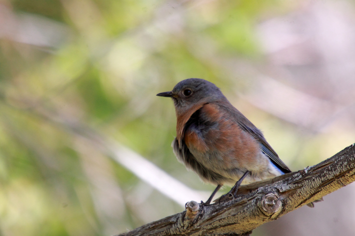 041410_WesternBluebird