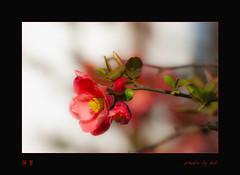 海棠 Chaenomeles japonica