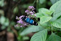 baudchon-baluchon-mindo-papillons-31