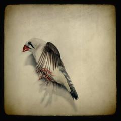 detener el tiempo... (fertraban) Tags: bird ave pjaro vuelo diamante volar diamantemandarn