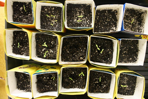 marigolds, sprouting