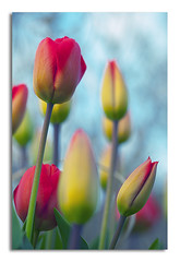 glory days (*iNiNa* Tracey Christina Photography) Tags: pink red sky flower nature garden stem petal tulip