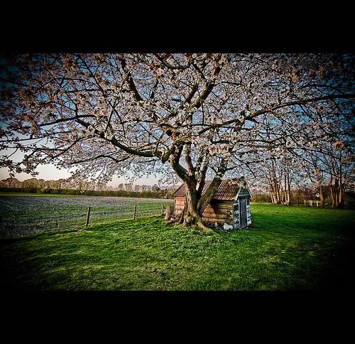 cherries_001