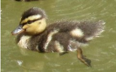 duckling swiming