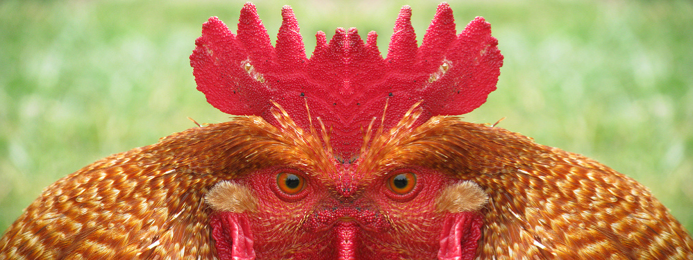 mark's rooster