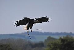 cheyenne comes home (sure2talk) Tags: eagle baldeagle cheyenne americanbaldeagle nikond60 hawkconservancy nikkor70300mmf4556gafsifedvr