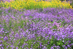 Chinese violet cress / Orychophragmus violaceus / () (TANAKA Juuyoh ()) Tags: tokyo high chinese cress violet hires resolution 5d hi  res tachikawa markii showakinenpark   violaceus orychophragmus