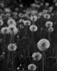 113/365 there are plenty of wishes in my back yard (lydiafairy) Tags: blackandwhite bw circle weeds dof bokeh puff dandelion round wishes
