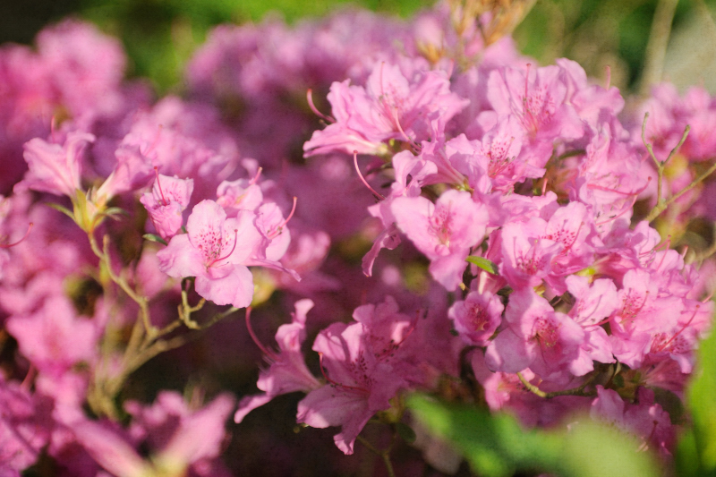 Soft Blooms of Pink