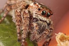 Jumping Spider (Dwi Janto Johan) Tags: macro hongkong nikon d70s micro lantauisland tungchung sb25 br2a orderaraneaespiders kenkoexttube12mm phylumarthropodaarthropods notaxonentelegynes infraorderaraneomorphaetruespiders yongnuo classarachnidaspidersscorpionsmitesandticks familysalticidaejumpingspiders yn460ii reversedlenscanon24mmfd