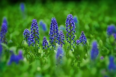 Grape Hyacinth (DigiPix) Tags: flowers painterly green photoshop aperture purple blossoms blooms grape springtime blooming filtered simplify hyacinths verdent colorefexpro topazadjust
