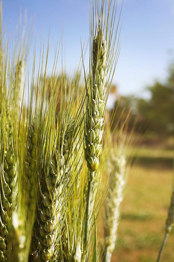 wheat2b