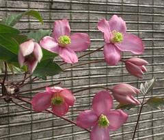 Clematis in my garden (mennomenno.) Tags: clematis roze eigentuin