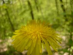 Crown Web (primordial_sound) Tags: macro yellow forest spring dandelion shade lyulinmountain