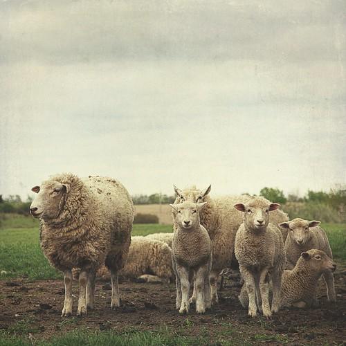 フリー写真素材, 動物, 哺乳類, ウシ科, 羊・ヒツジ, 家族・親子,