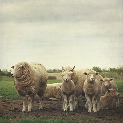 [Free Photo] Animals, Mammalia, Bovidae, Sheep, Family/Parent and Child, 201005051100