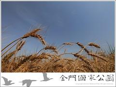 2010-小麥成熟-02