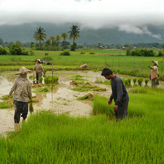 Rice farming in the green paddy fields (Bn) Tags: poverty topf50 farmer laos hardwork ricefields weeding paddyfields harvesting greenfields champasak limestonerocks 50faves dayworkers ricefarming womanfarmer laopeople wetricefields laoscountryside chinesebamboohat hardworkingfarmer womeninlaos transplantingofrice workingindepaddyfields womeninthepaddyfields laowomenatwork