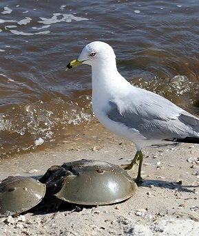 The Ring-billed Gull and the Horseshoe Crabs