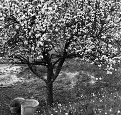 Pommier en fleur (Tonton Dave) Tags: hasselblad 500c pommier