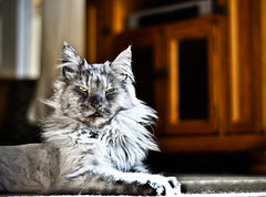 Rocky (Jay Cassario) Tags: cats digital cat 50mm nikon kitten tiger maine lion coon mainecoon f18 dslr 18 50mm18 largecat cattery bestofcats d5000 bestofcat