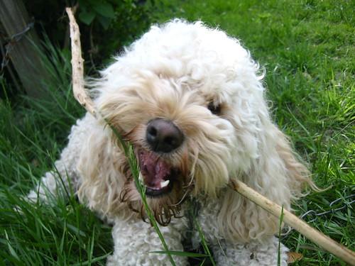 maggs terrorizing a stick