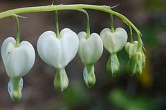 Purity of Heart (mimicapecod) Tags: flowers nature bleedingheart naturesfinest fantasticflower flickrsfantasticflowers happyfloweryfridayeveryday