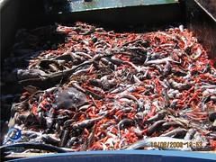 arrastre06 (Tiburones Chile) Tags: conoce pesquerias especieamenazada