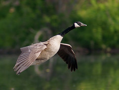 Canada Goose on Approach