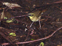 Yellow-throated Scrubwren (boombana) Tags: sydney australia nsw 2010 royalnationalpark australianbirds scrubwren sericornis wattleforest sericorniscitreogularis yellowthroatedscrubwren
