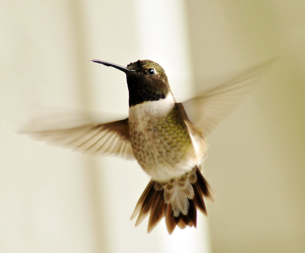 black chinned hummingbird male may 2