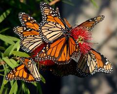Monarch March (neonflamingos) Tags: nature alabama butterflies monarch fortmorgan monarchbutterflies