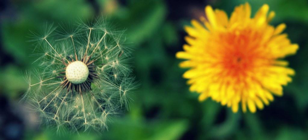 dandelion, two ways