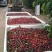 5/25/10 Newman ca cherry harvest
