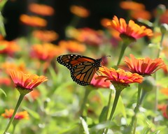 The Beautiful Lightness of Being ... Madame Butterfly! (Arabesque20) Tags: life pink flowers wild orange sun white black green nature beautiful field sunshine animal butterfly insect natural free sunny zinnia madamebutterfly fieldofflowers beautifullightnessofbeing