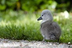Grass is Good! (TylerIngram) Tags: baby swan cygnet stanleypark lostlagoon muteswan sygnet