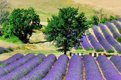 L'usine  miel (lumer-photo-passion-83) Tags: france fleur french lavande flover flore valensole passiondclic