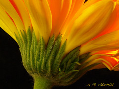 Bent Beauty  - Vancouver, British Columbia (Barra1man (Very Busy)) Tags: plant flower macro nature vancouver britishcolumbia gerbera orangegerbera mygearandmepremium mygearandmebronze mygearandmesilver ringexcellence dblringexcellence
