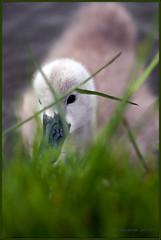 Do I trust you? (Lolav2010...) Tags: baby bird grass canon canal swan cygnet