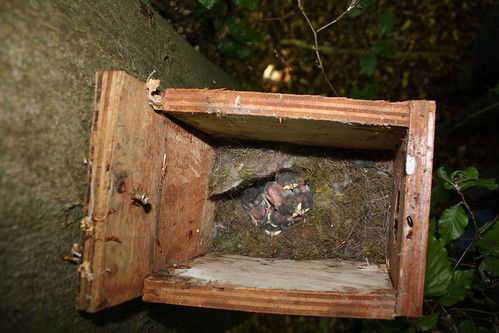 Seven babies - maybe bluetits