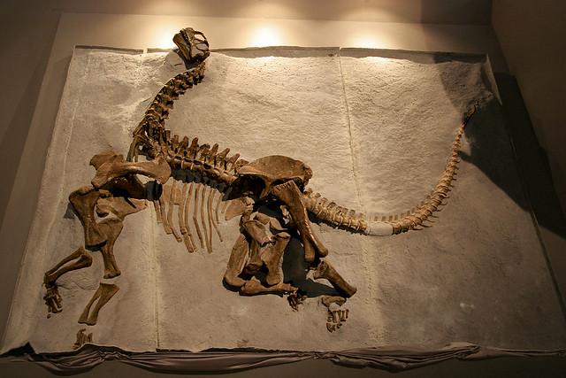 Camarasaurus - 01