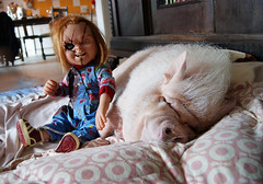 Chuckypig (Angelsi20) Tags: pet pig dvd puppet knife seed 11 collection bust böse marvel büste limited lifesize collectibles sideshow puppe chucky puppen