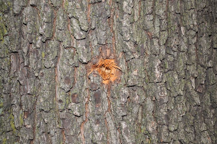 bullethole in tree_4771 web
