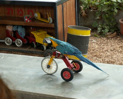 Parrot-riding-bike-pictures-birds-wallpapers